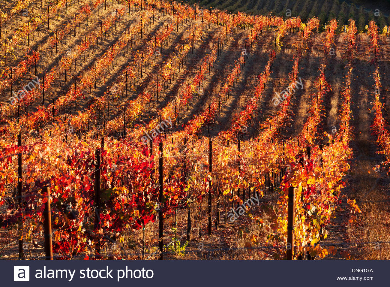Spectrum of Fall Colors in Vineyard at Dry Creek Valley, Geyserville, California - Stock Image