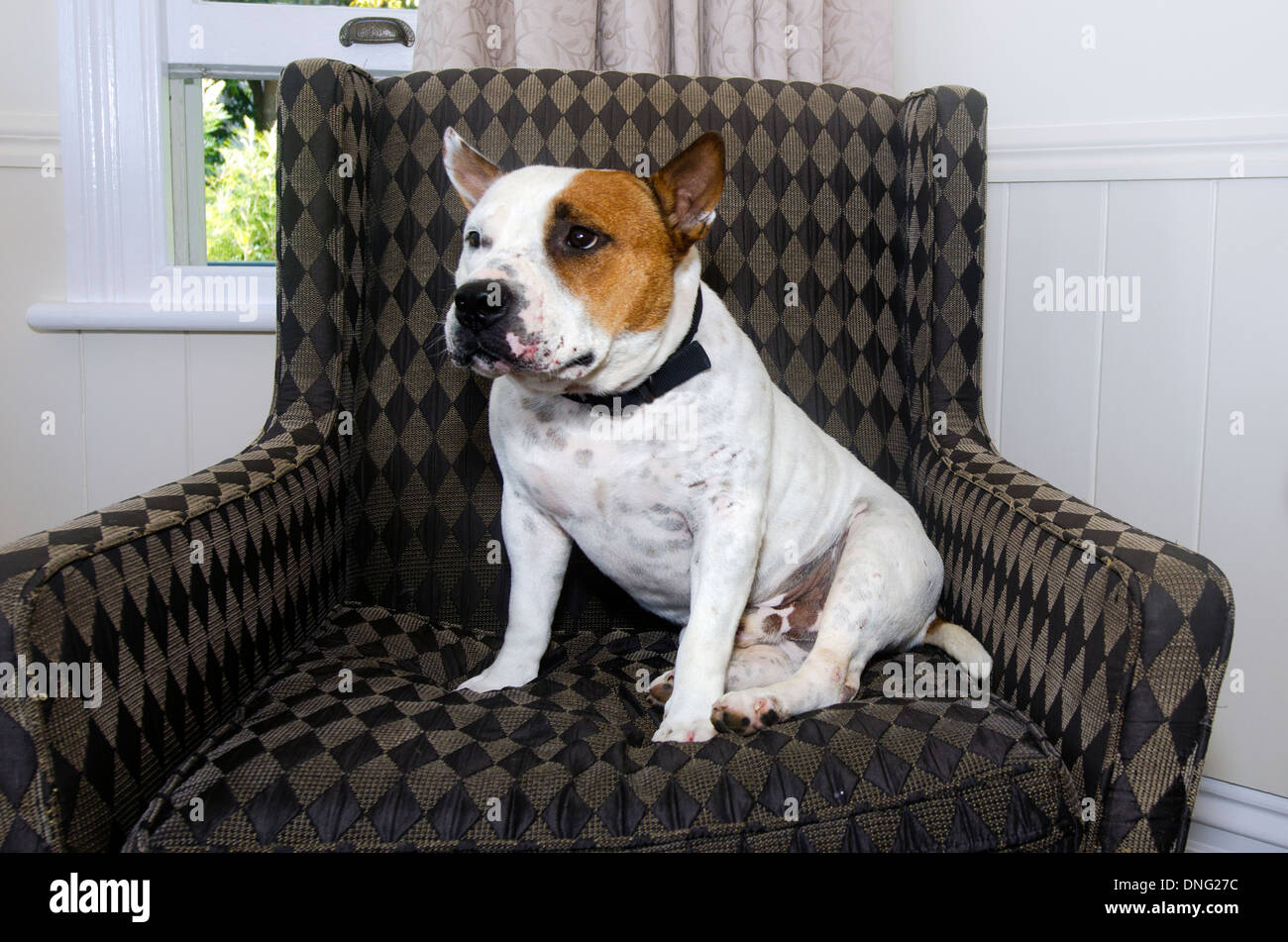 Staffordshire Bull Terrier sit on a chair. - Stock Image