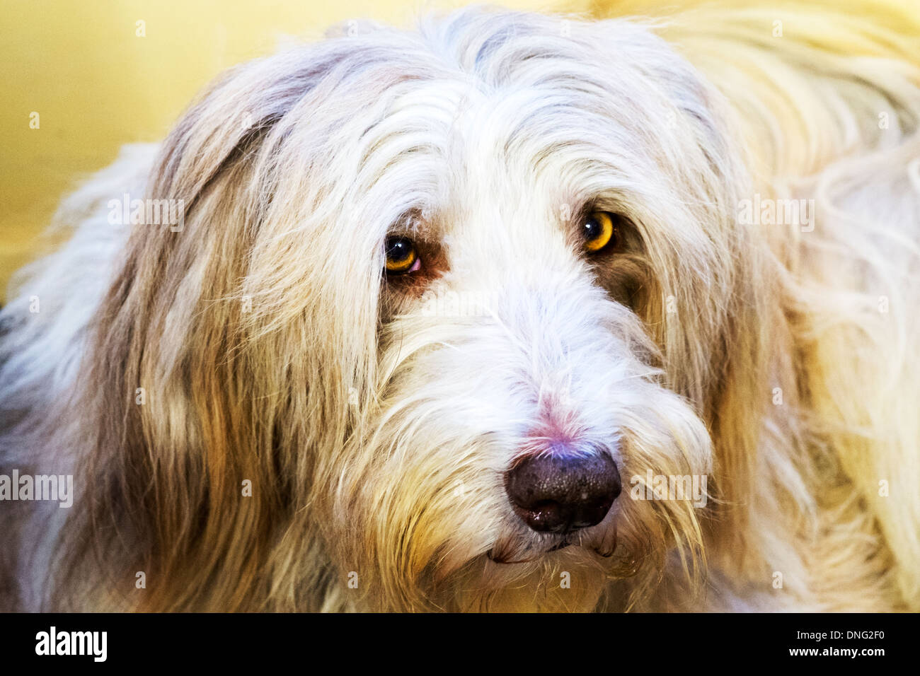 Bearded collie pet dog canine yellow eyes cute - Stock Image