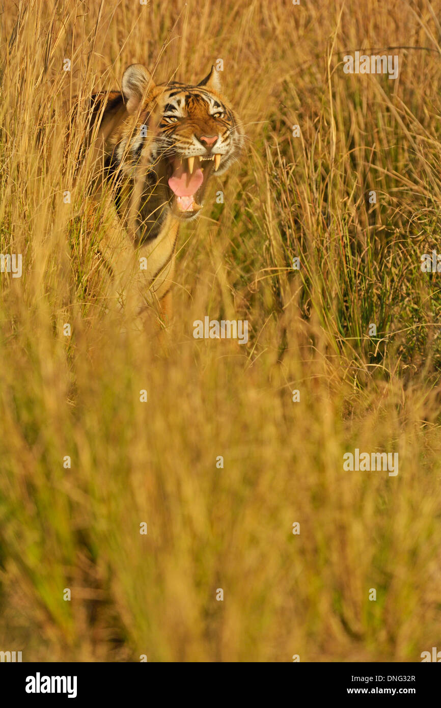 Tiger in the grasslands of Ranthambhore - Stock Image