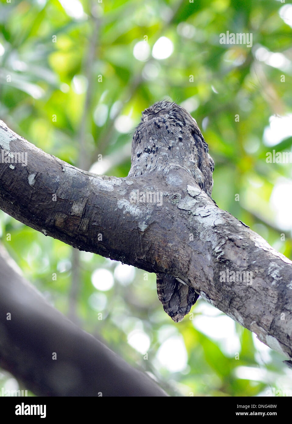 A Common Potoo (Nyctibius grisius) sits, camouflaged for the day, on a stump on a tree branch. - Stock Image