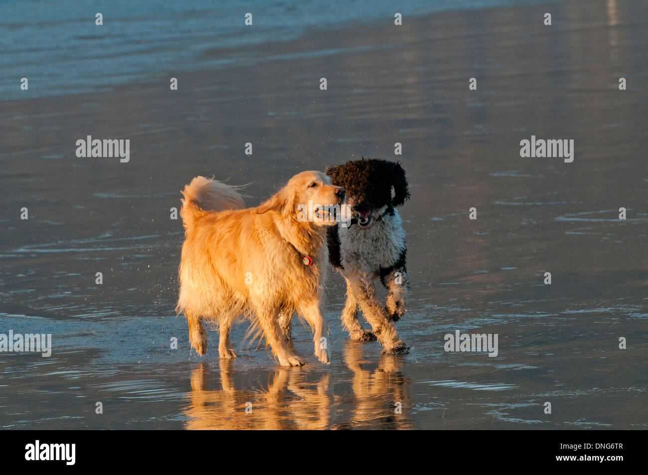 Golden retriever and parti poodle playing on beach on the Oregon Coast - Stock Image
