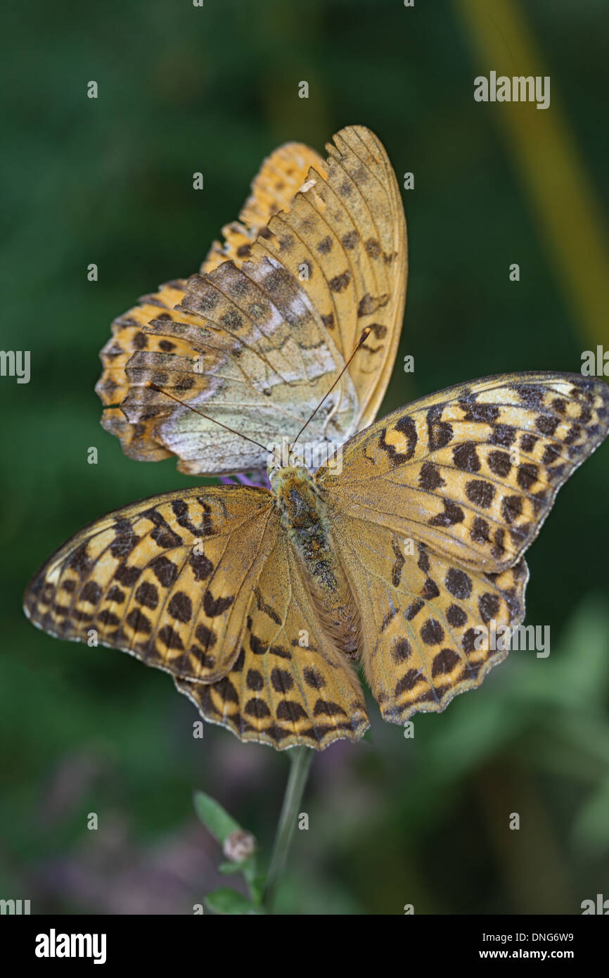 Two butterfly, top and side views - Stock Image