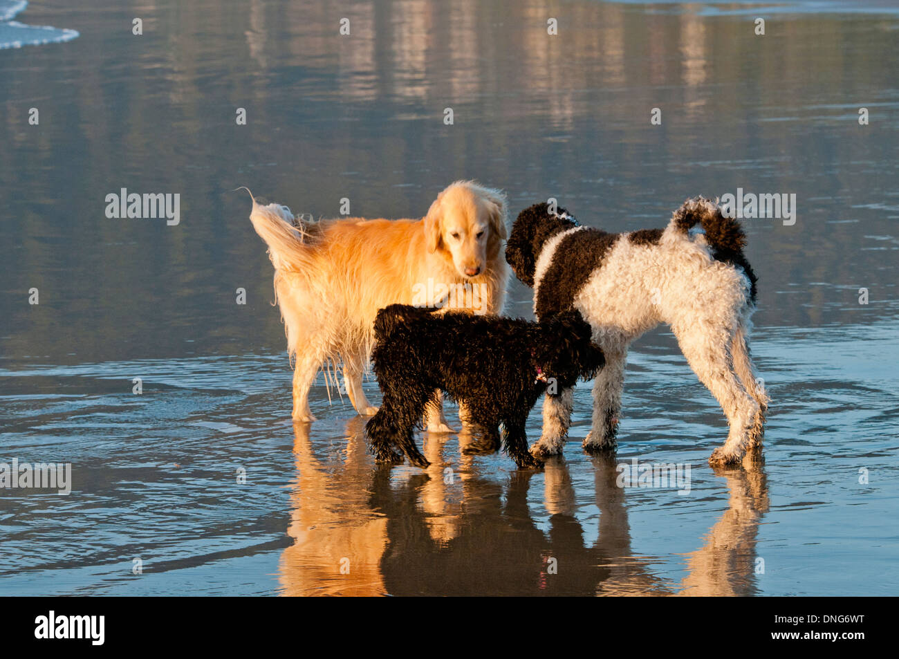 Three Dogs Golden Retriever Parti Poodle And Australian Stock