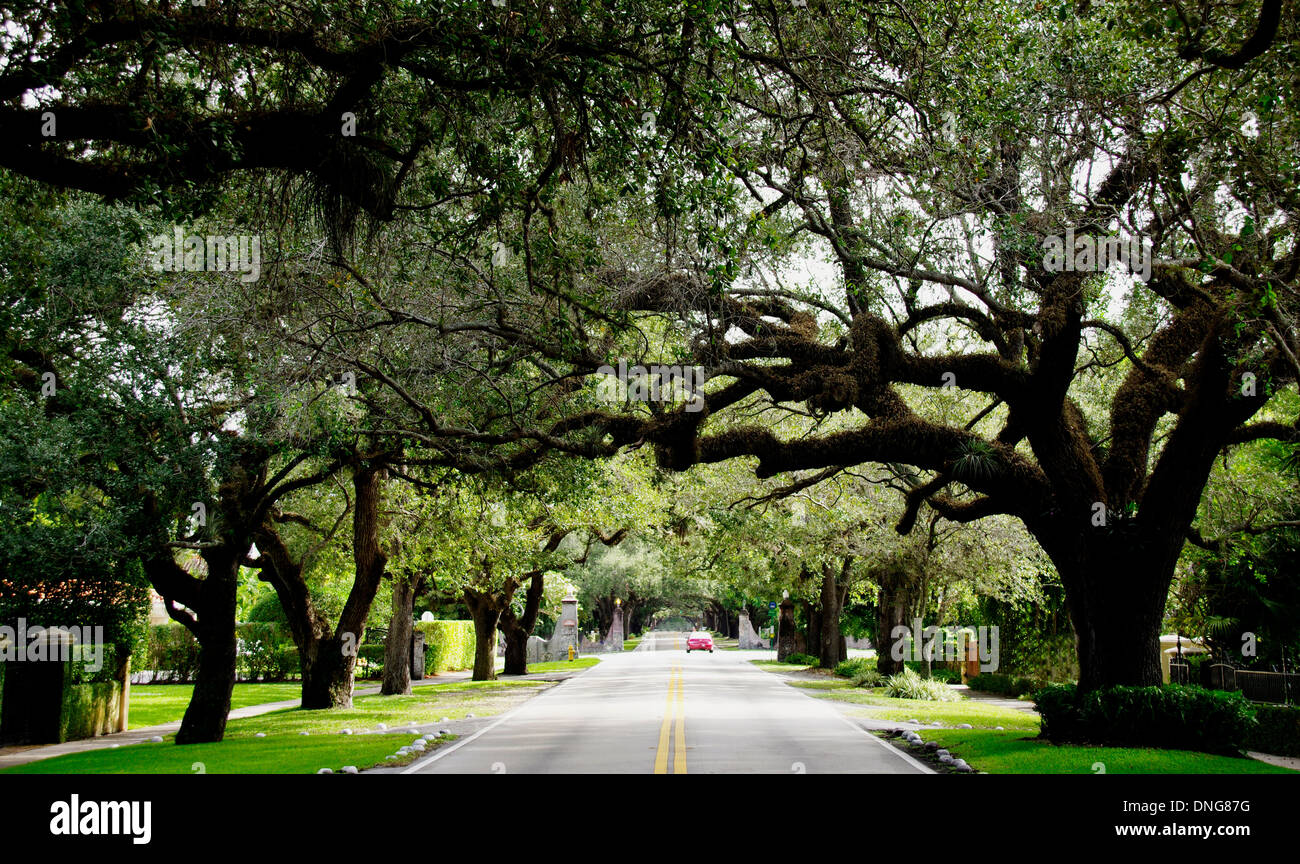 Old Oak Trees along Coral Way, Miami Stock Photo