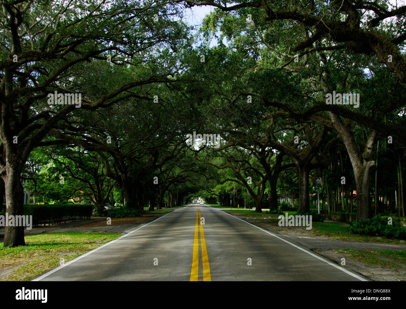 Old Oak Trees along Coral Way, Miami Stock Photo