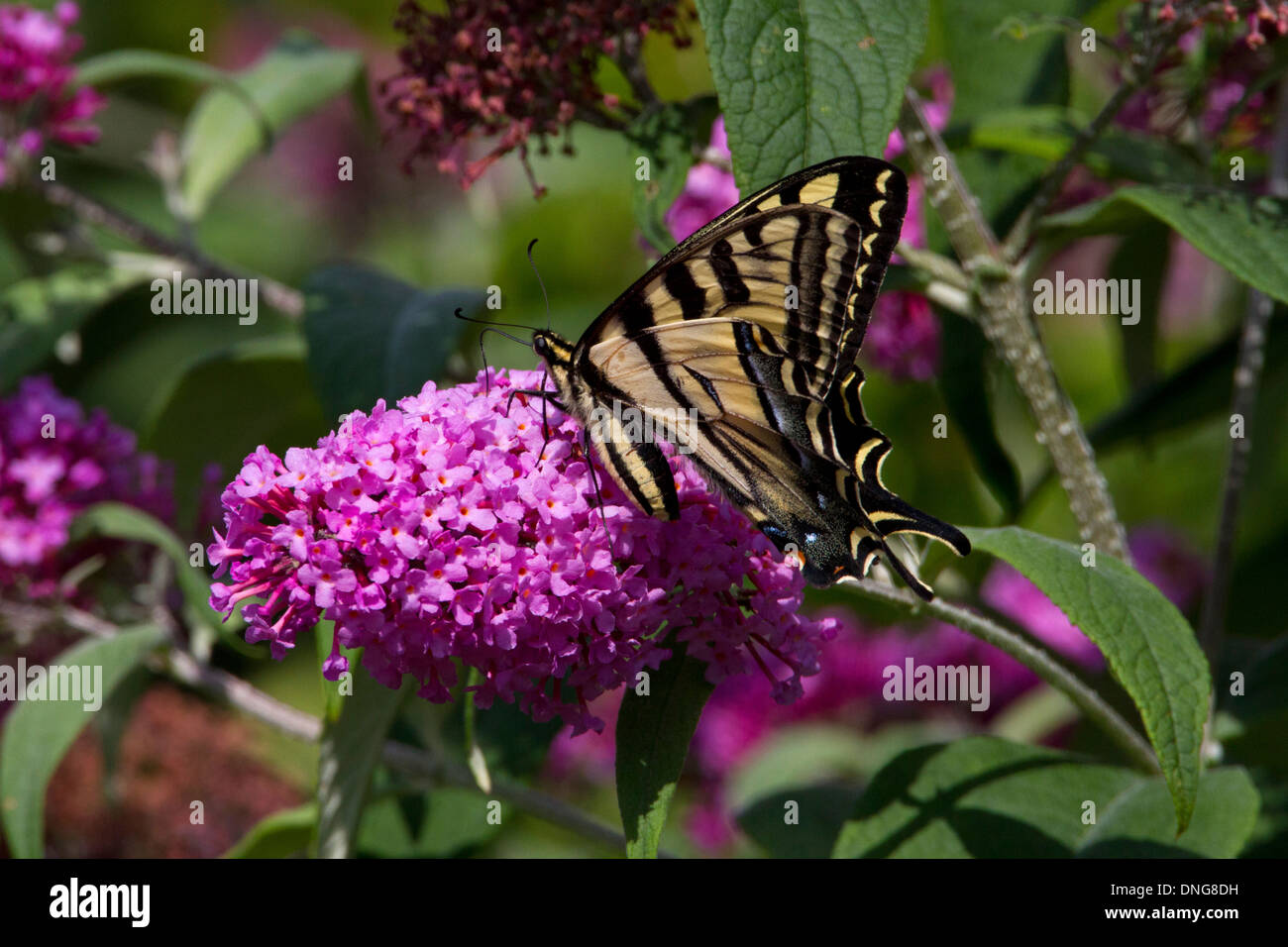 Western Tiger Swallowtail (Papilio rutulus) butterfly feeding on Buddleja flower in Nanaimo, Vancouver Island, BC,Canada in July Stock Photo