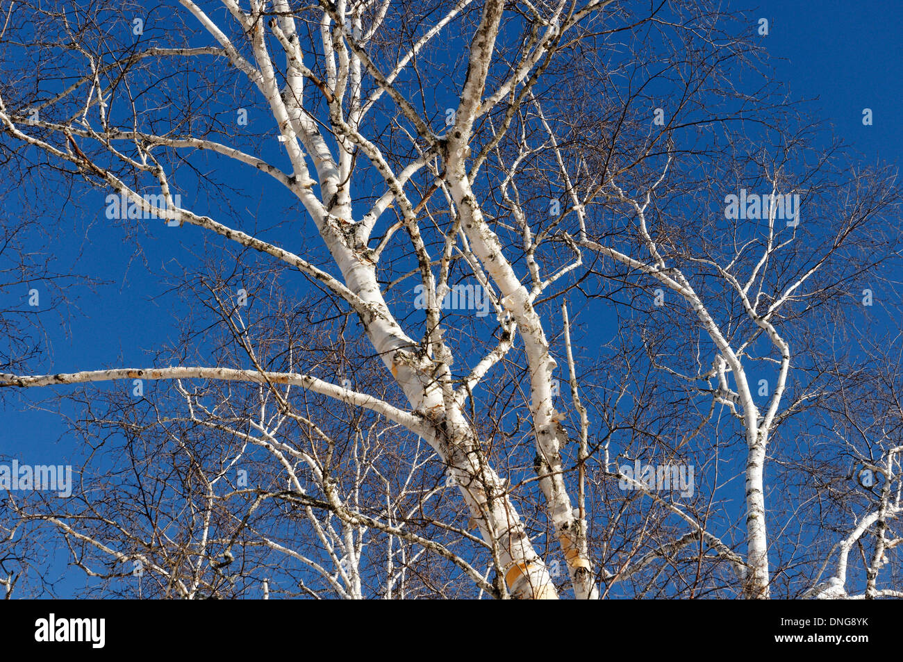 Silver birch trees against a clear blue sky - Stock Image