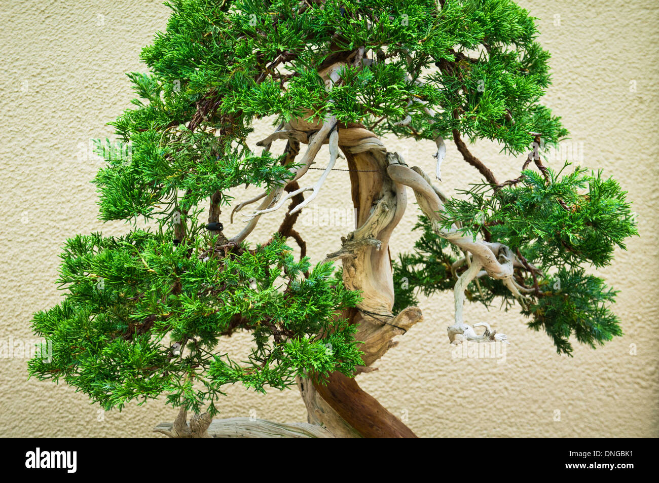 Bonsai Form Stock Photos Images Alamy Wiring Schefflera Trees In The Japanese Section Of Montreal Botanical Garden Quebec