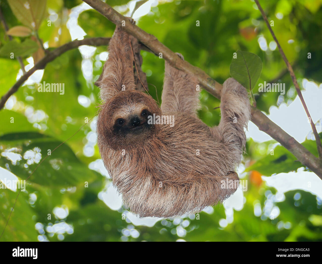 Young brown throated sloth hanging from a branch in the jungle, Bocas del Toro, Panama, Central America Stock Photo
