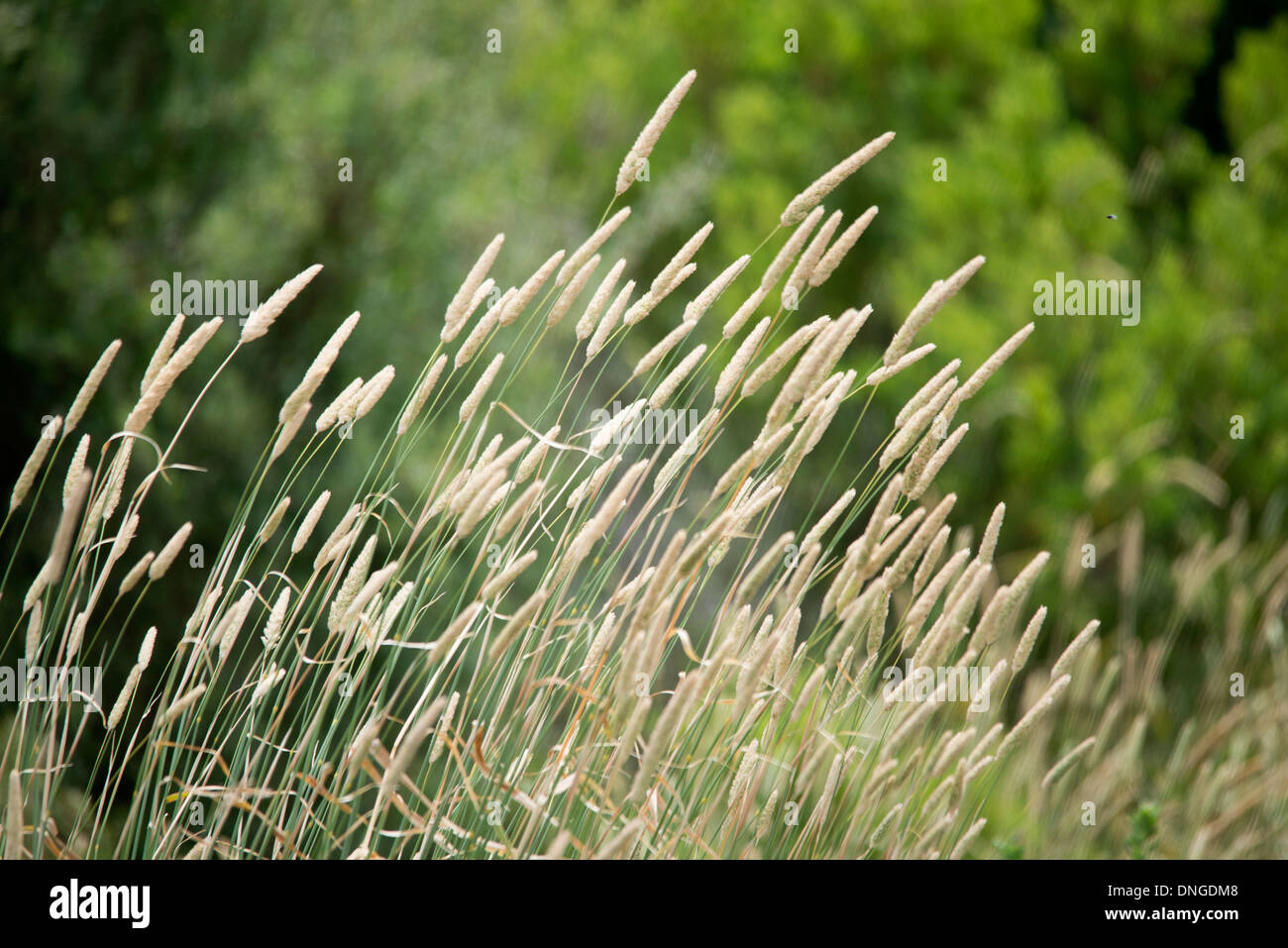 long grass closeup with tree background wheat grass close up - Stock Image