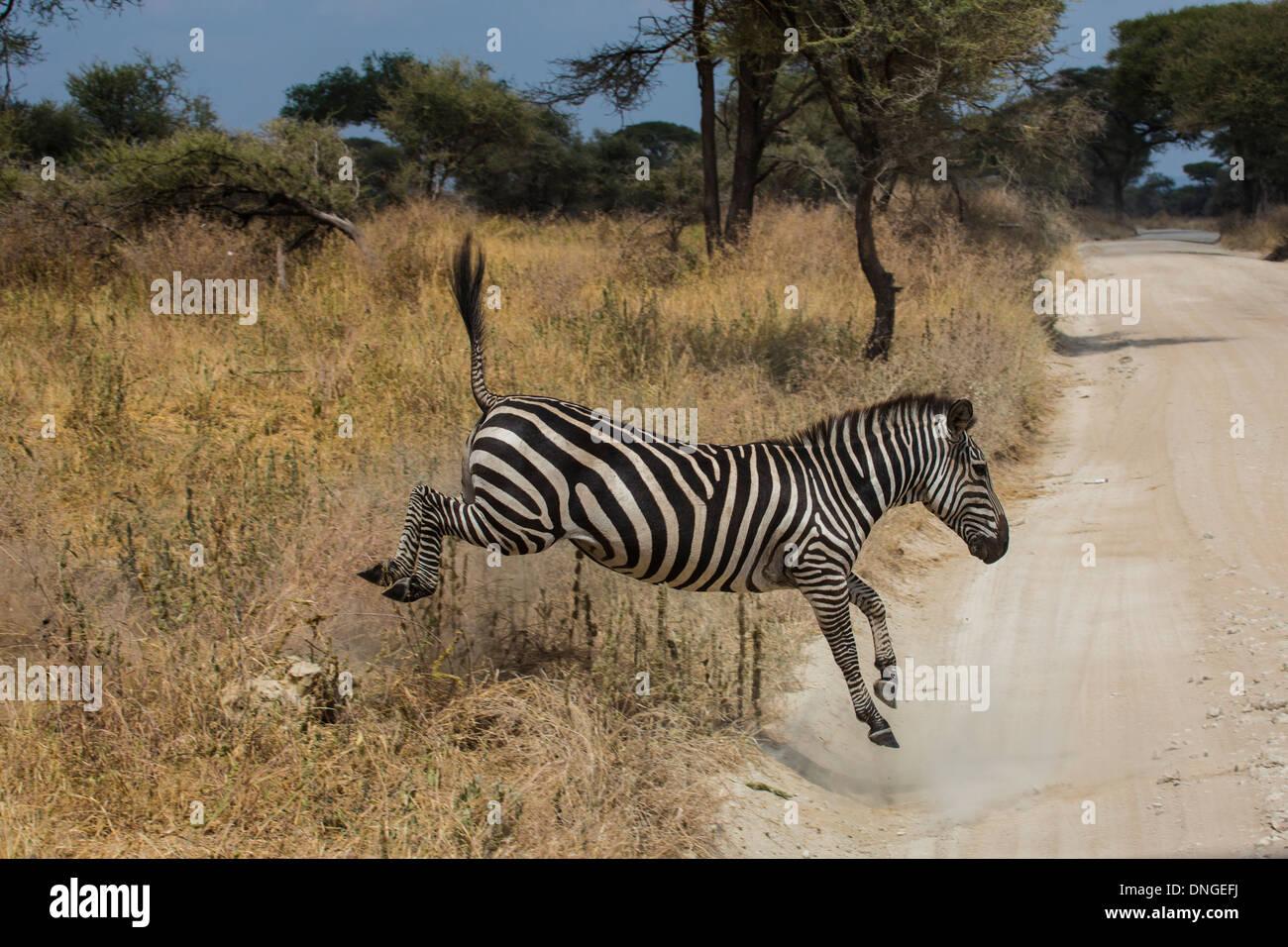 Zebras in Tarangire National Park, Tanzania - Stock Image