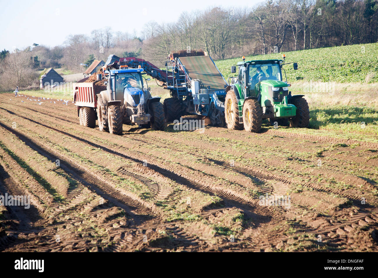 Farm machinery harvesting a winter carrot crop in a field, Ramsholt, Suffolk, England Stock Photo