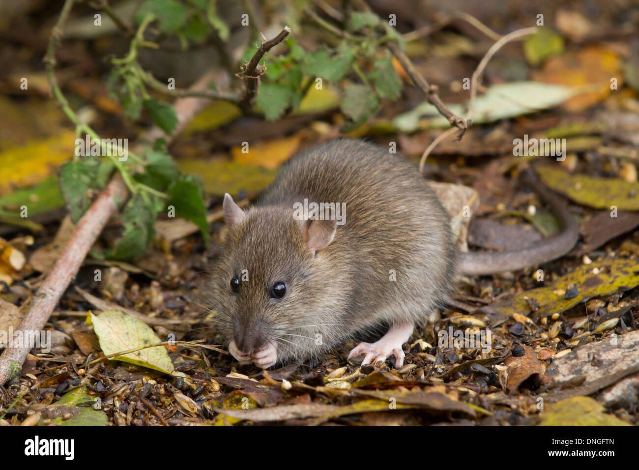 Brown Rat (Rattus norvegicus) feeding on spilt grain - Stock Image