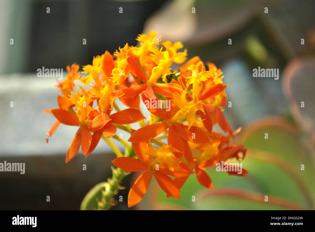 Orange Flowers, Orchid family on the terrace garden - Stock Image