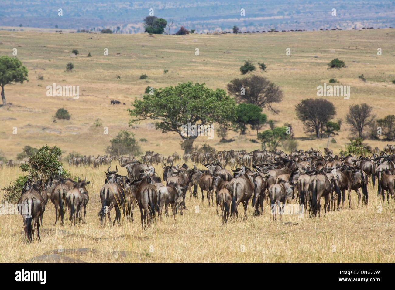 Great Migration at Serengeti National Park, Tanzania - Stock Image