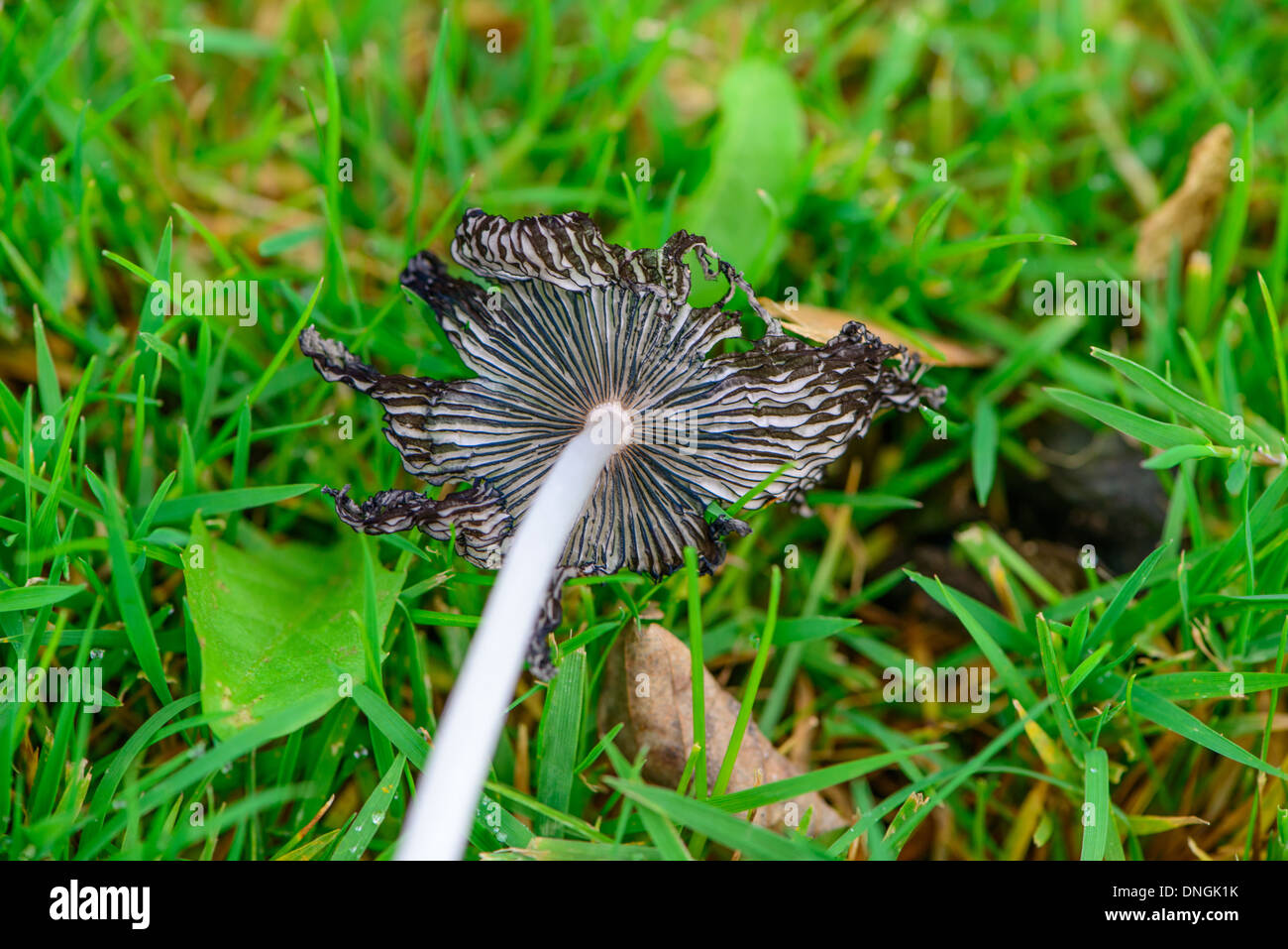 Decaying black and white ink cap mushroom on grass with autumn leaves. - Stock Image