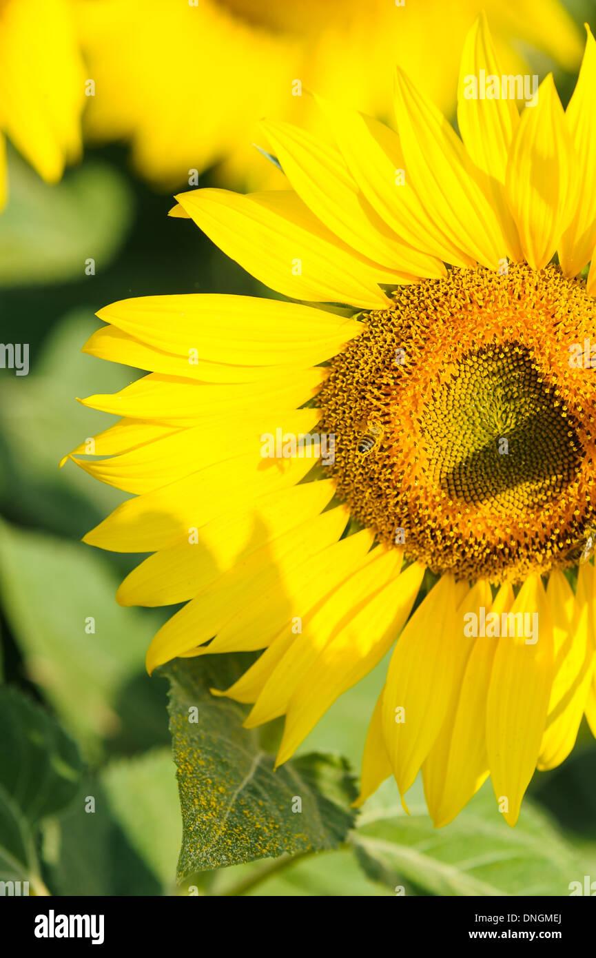 sunflower genetically modified macro GMO - Stock Image