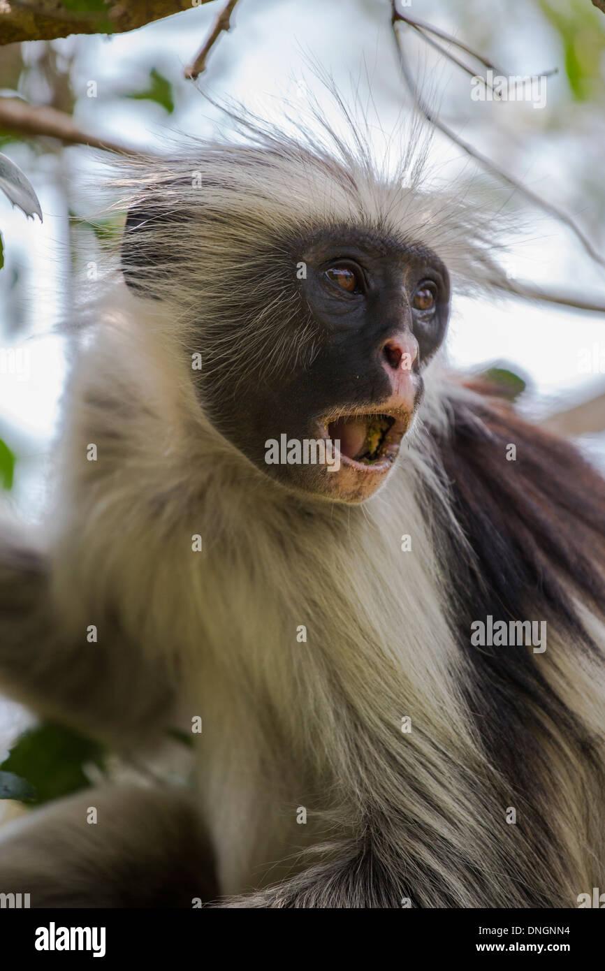 Red Colobus Monkey in Zanzibar - Stock Image