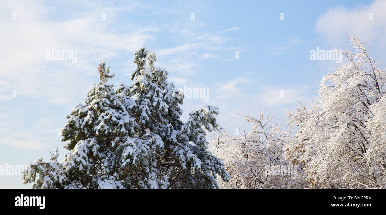 Ice storm during Canadian winter, tree tops and branches covered in ice and snow - Stock Image