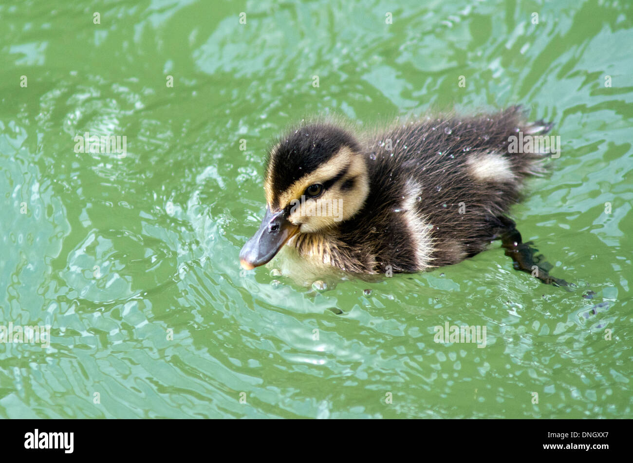 Cute little Mallard Ducklings swimming on the water of the bay of Island New Zealand. - Stock Image
