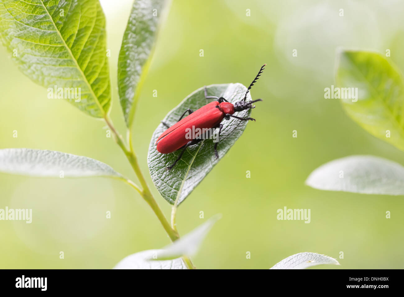Black-headed cardinal beetle (Pyrochroa coccinea). Surrey, UK. - Stock Image