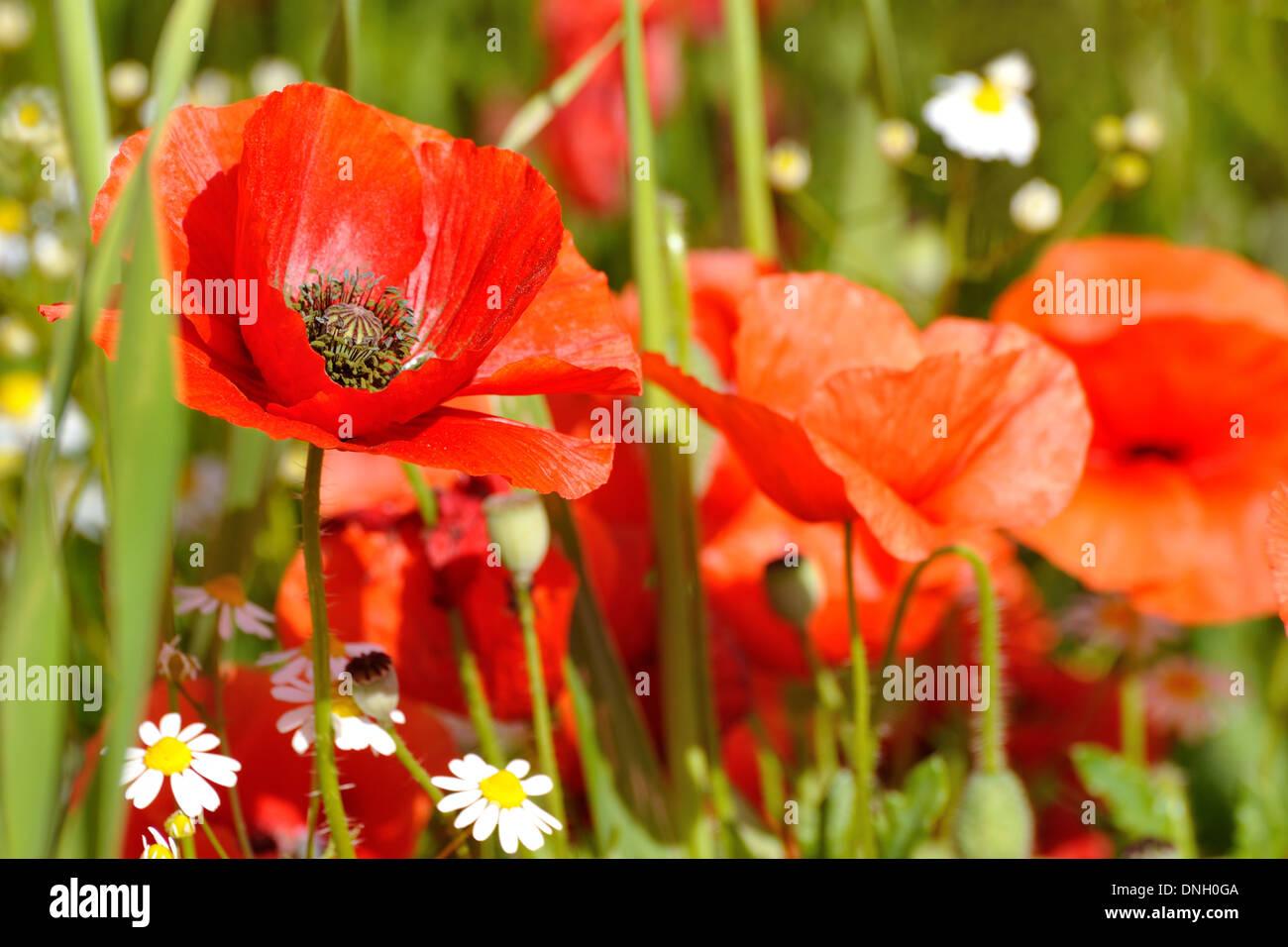 Poppy flower in a field red poppies symbol of remembrance symbol poppy flower in a field red poppies symbol of remembrance symbol of a new summer season mightylinksfo