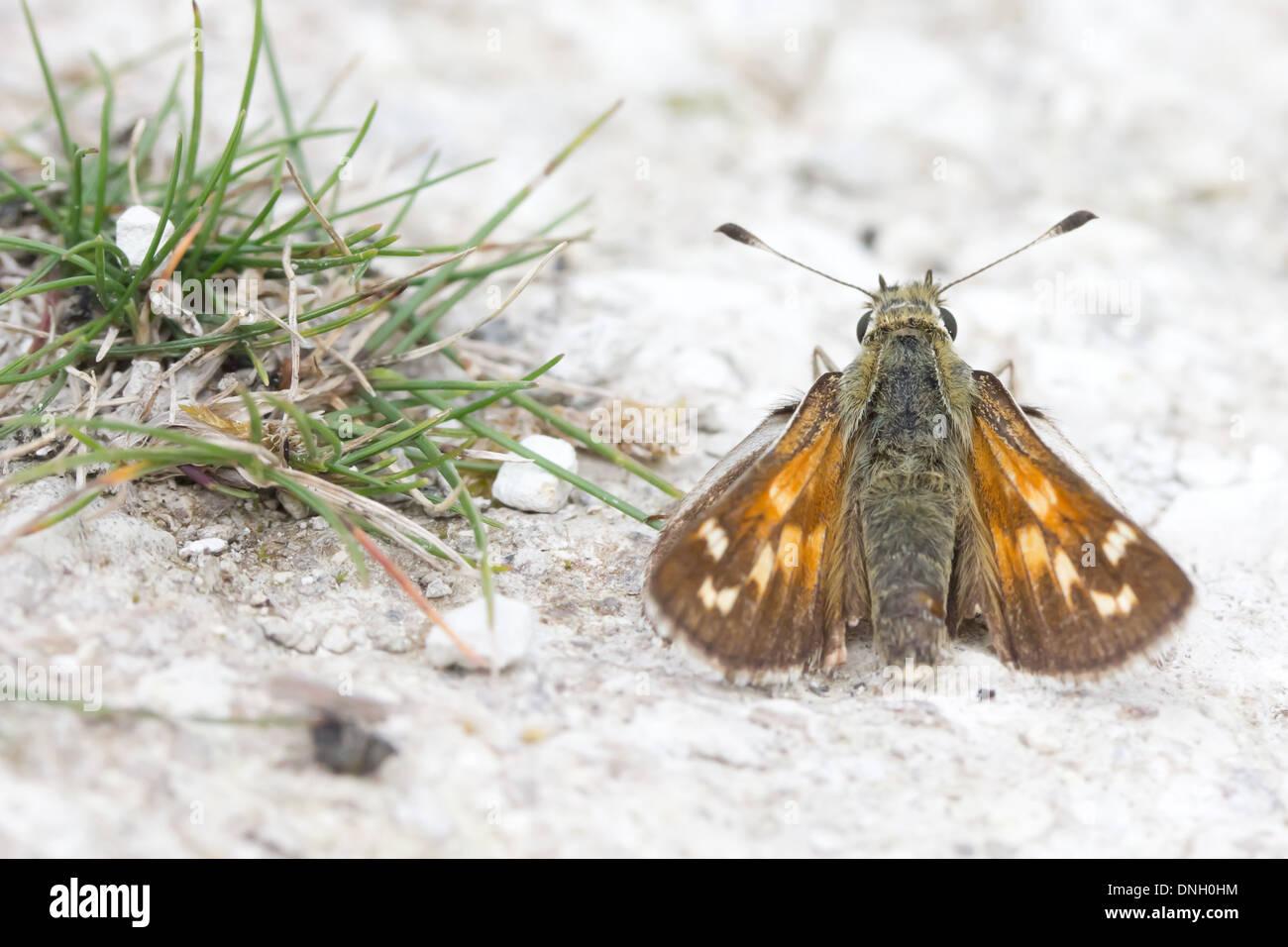 Silver-spotted skipper (Hesperia comma) on chalk downland. Surrey, UK. Stock Photo
