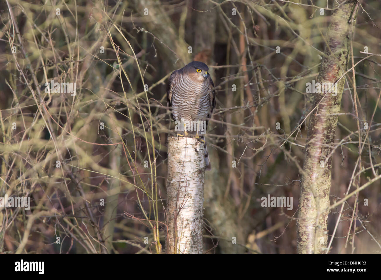 Male sparrowhawk (Accipter nisus) perched in woodland. Surrey, UK. Stock Photo