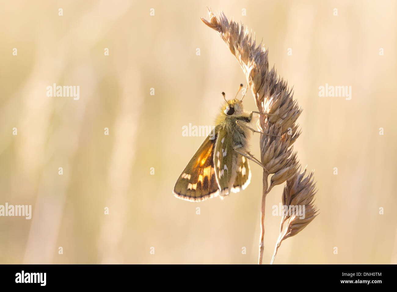 Silver-spotted skipper (hesperia comma) on grass head. Surrey, UK. Stock Photo