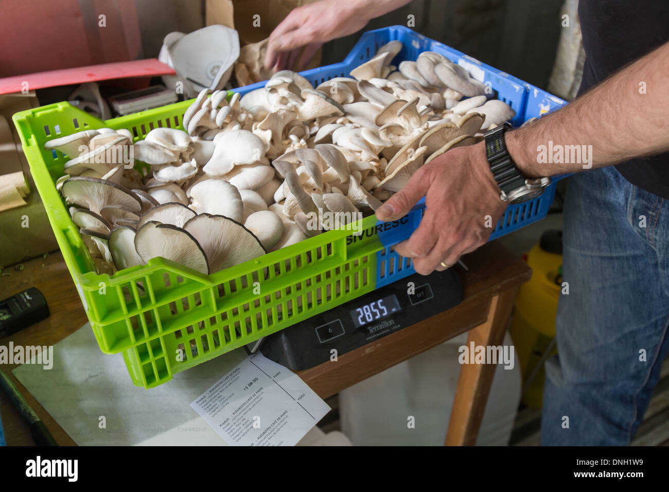 CEDRIC PECHARD, AGRICULTURAL ENGINEER, INITIATOR OF THE CITY MICRO-FARM PROJECT U-FARM, PRODUCTION OF 'CAFE DE PARIS' OYSTER MUSHROOMS IN A MUSHROOM BED WITH A SUBSTRATA MADE UP OF SAWDUST AND COFFEE GROUNDS, PORTE DE MONTREUIL, 20TH ARRONDISSEMENT, PARIS - Stock Image