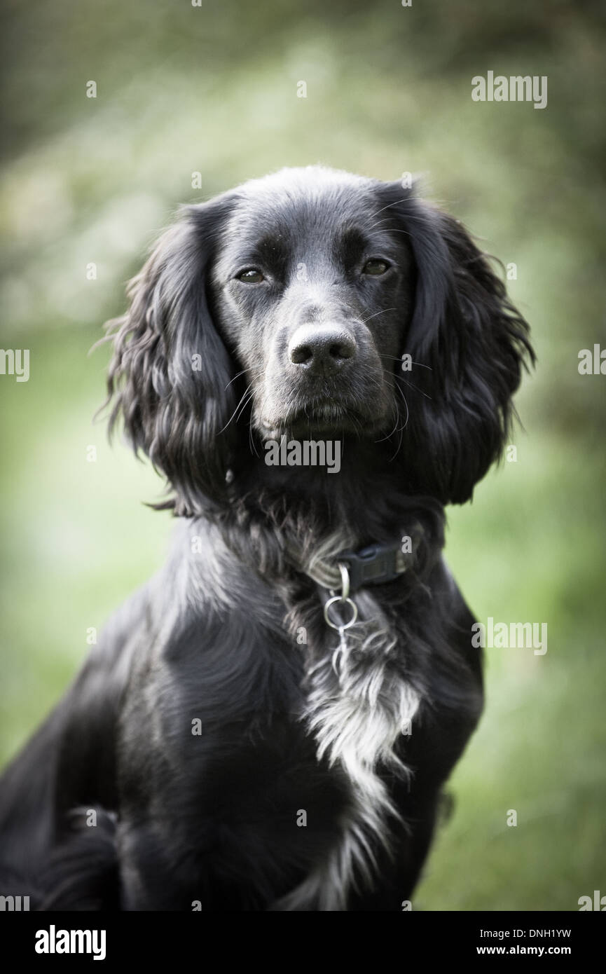 Working Cocker Spaniel dog - Stock Image