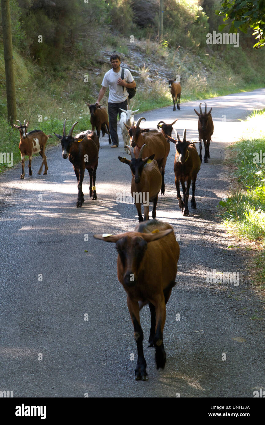 GOATHERD OUT WITH HIS HERD OF GOATS, SAINT-ETIENNE-VALLEE-FRANCAISE, LOZERE (48), FRANCE Stock Photo