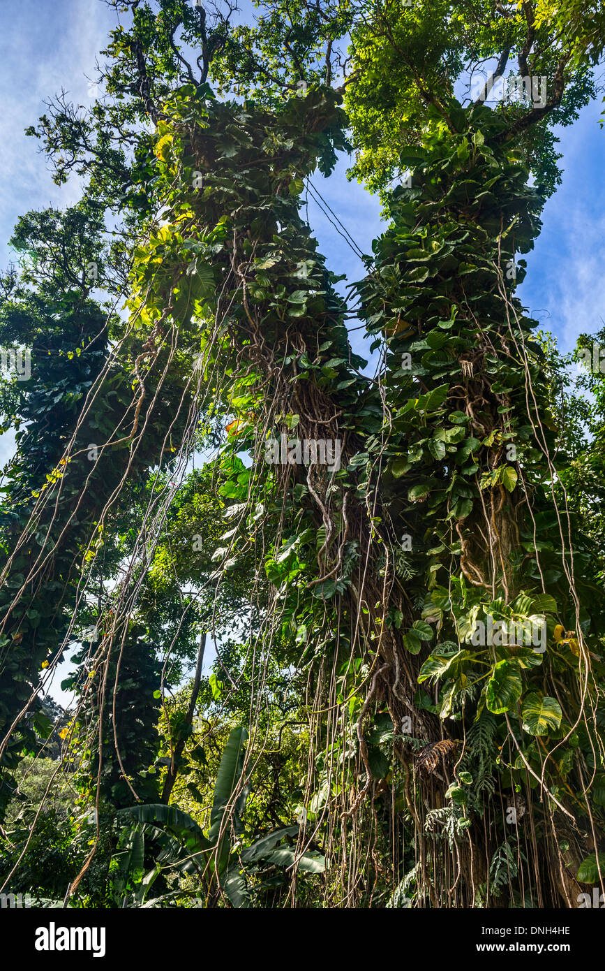 The jungles found along the Road to Hana in Maui, Hawaii. - Stock Image