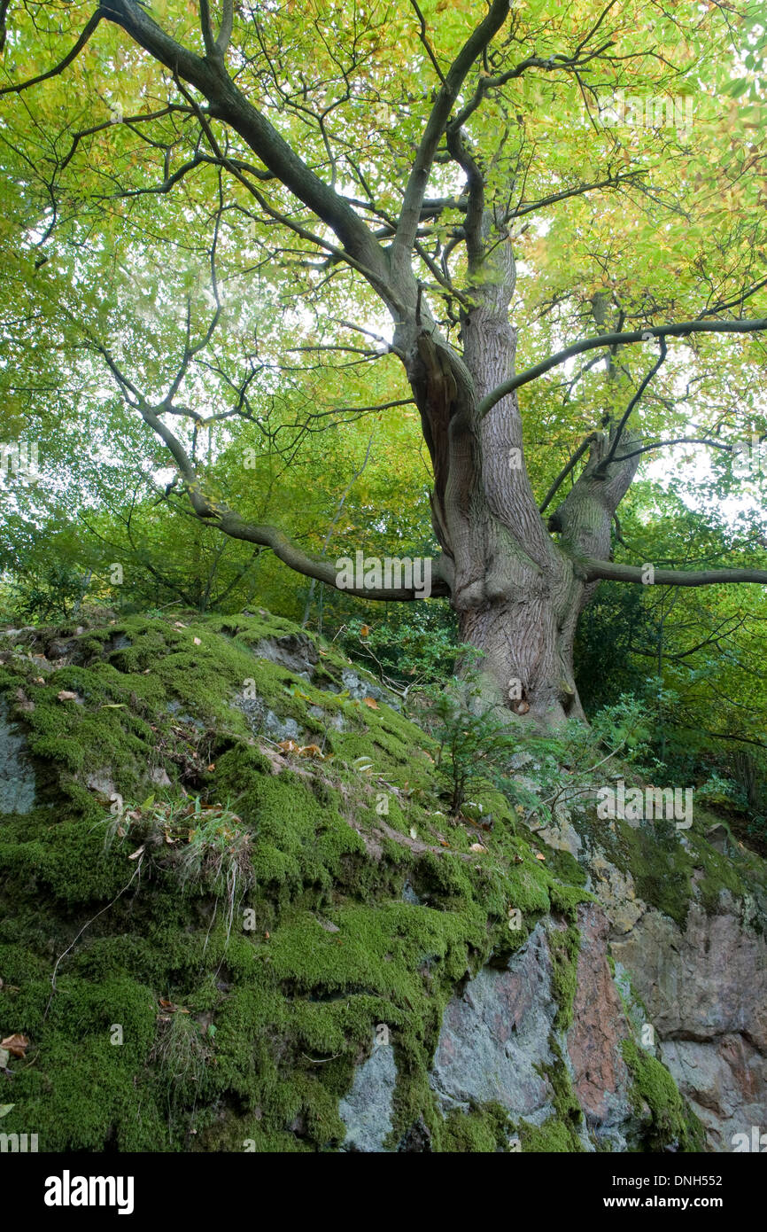 A sweet chestnut tree, Castanea sativa, grows out of a moss covered rock near St Ann's Well, Malvern Hills, Worcestershire. Stock Photo