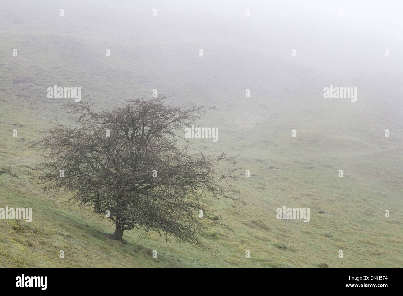 A Common Hawthorn tree, Crataegus monogyna, stands bare in fog on the side of British Camp on the Malvern Hills, Herefordshire. - Stock Image