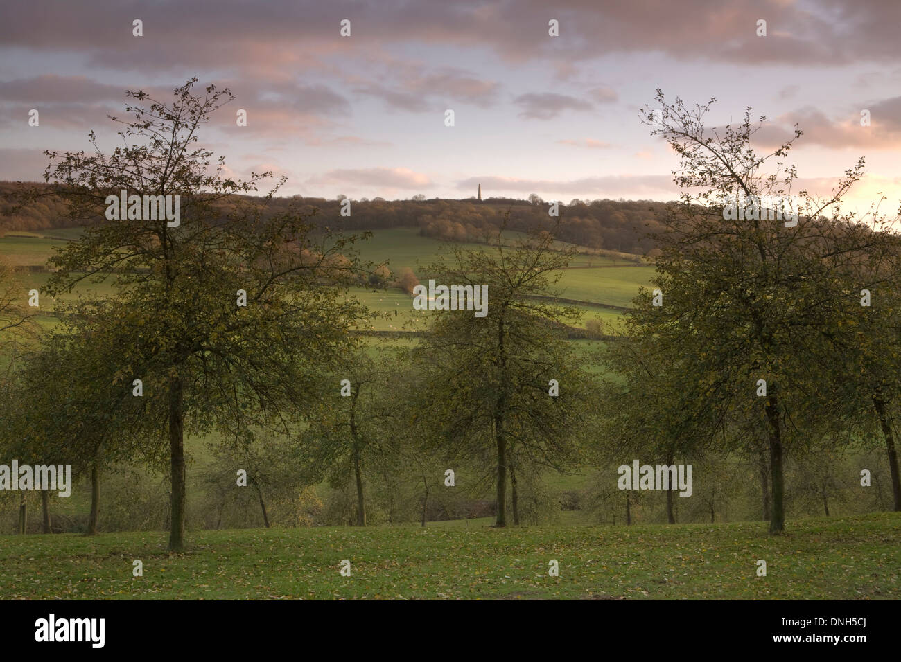 An Apple Orchard in Herefordshire over looks the Malvern Hills at sunset. Stock Photo
