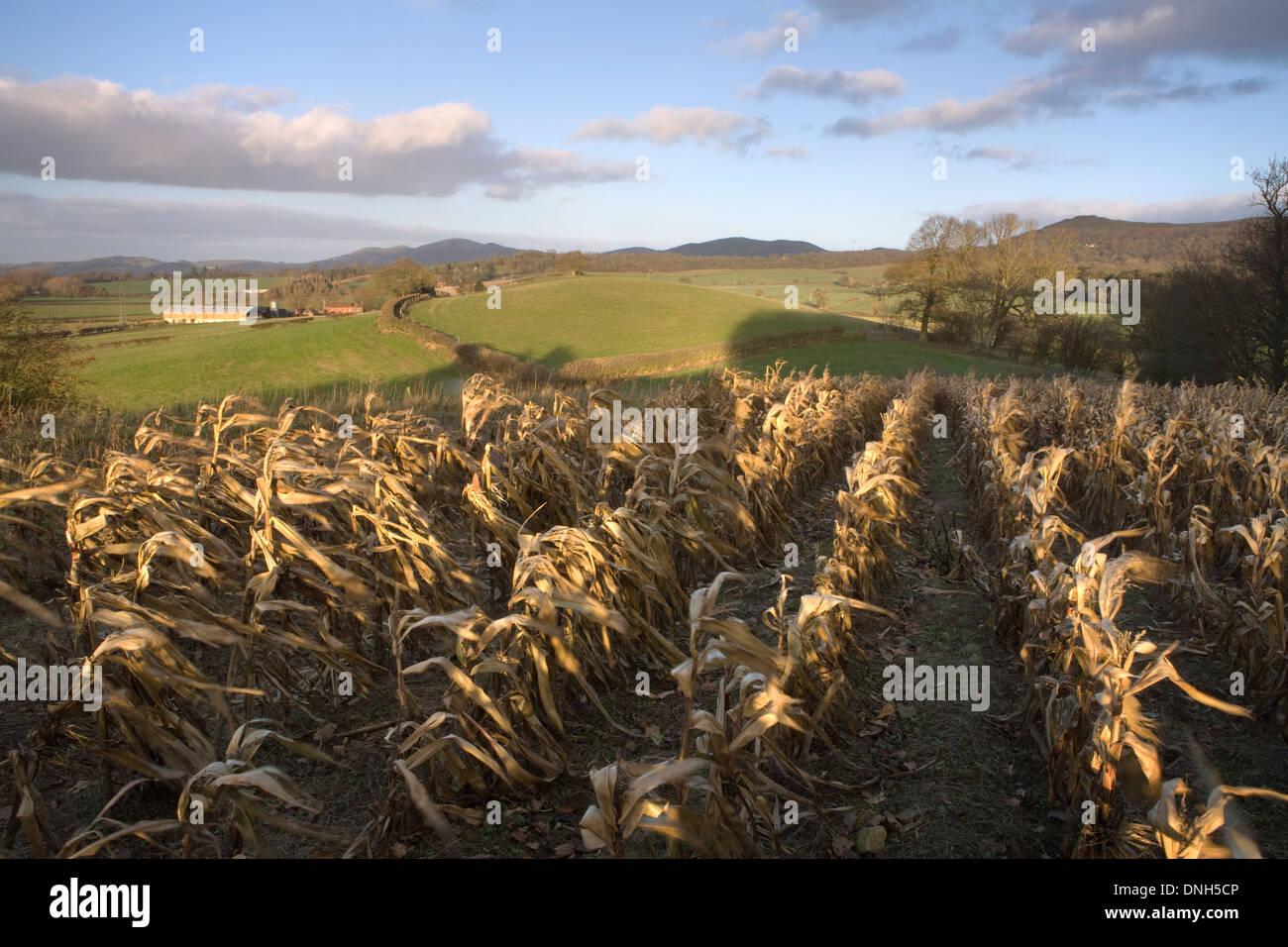Corn left in a field over Winter in Herefordshire. The Malvern Hills can be seen in the background. Stock Photo