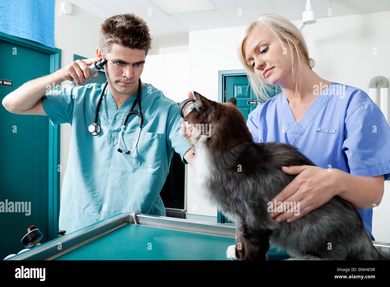 Young Veterinarian Doctors Examining A Cat - Stock Image
