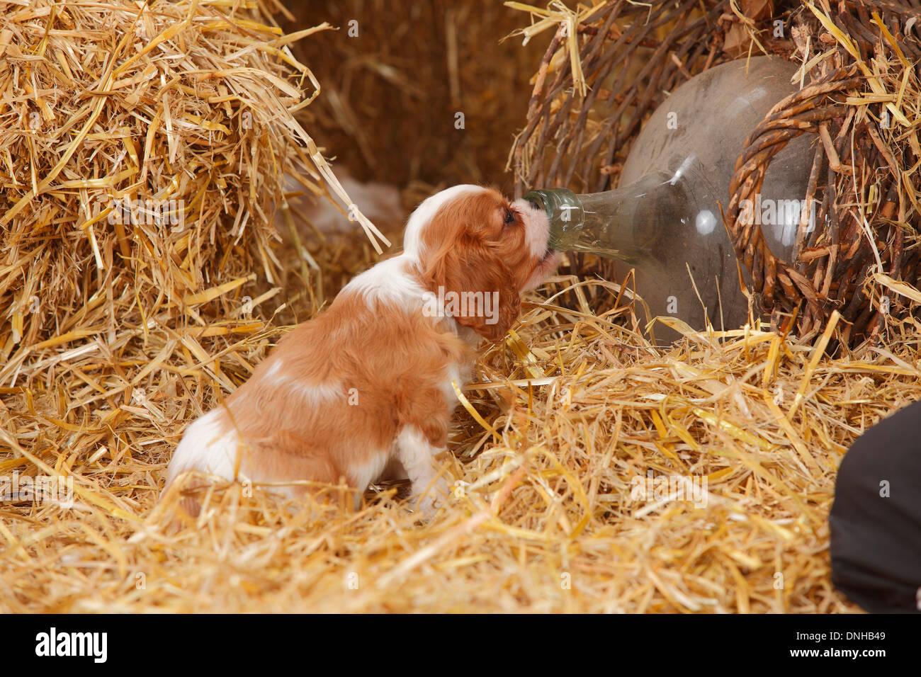 Cavalier King Charles Spaniel, puppy, blenheim, 8 weeks  Cavalier-King-Charles-Spaniel, Welpe, Blenheim, 8 Wochen - Stock Image