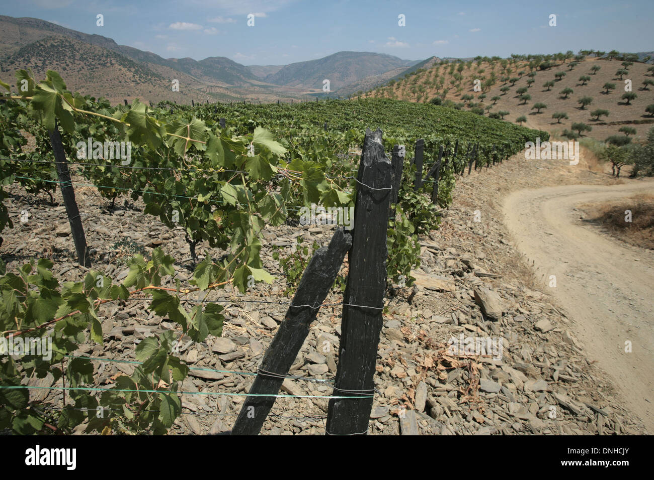 GRAPEVINES OF THE UPPER DOURO, THE TERROIR AND STAKES OF SLATE, PORTUGAL - Stock Image