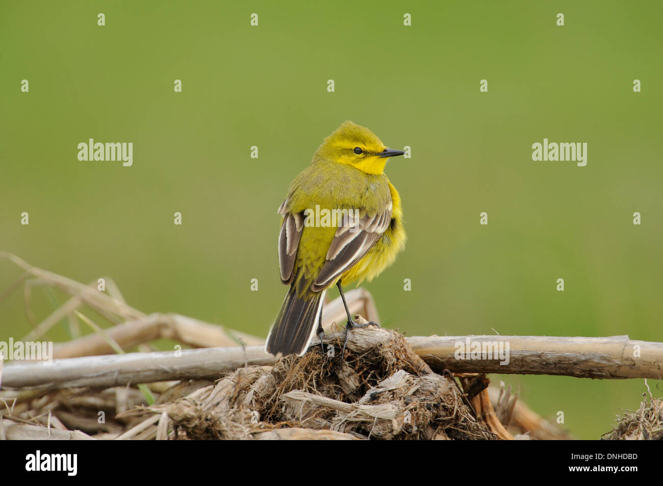 Yellow wagtail (Motacilla flava) perched on vegetation. - Stock Image