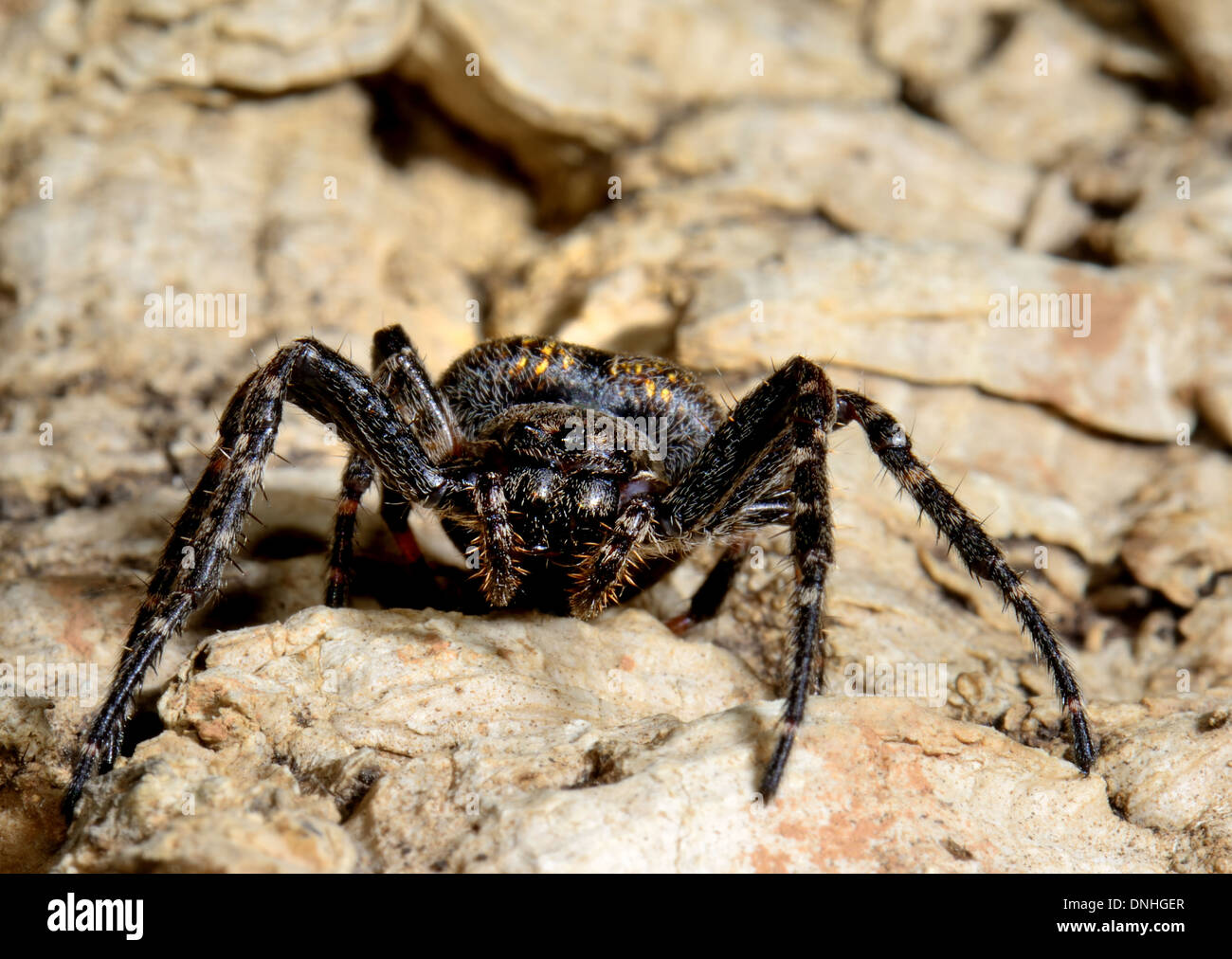 Walnut Orb spider or Evening spider, Nuctenea umbratica. Essex UK - Stock Image