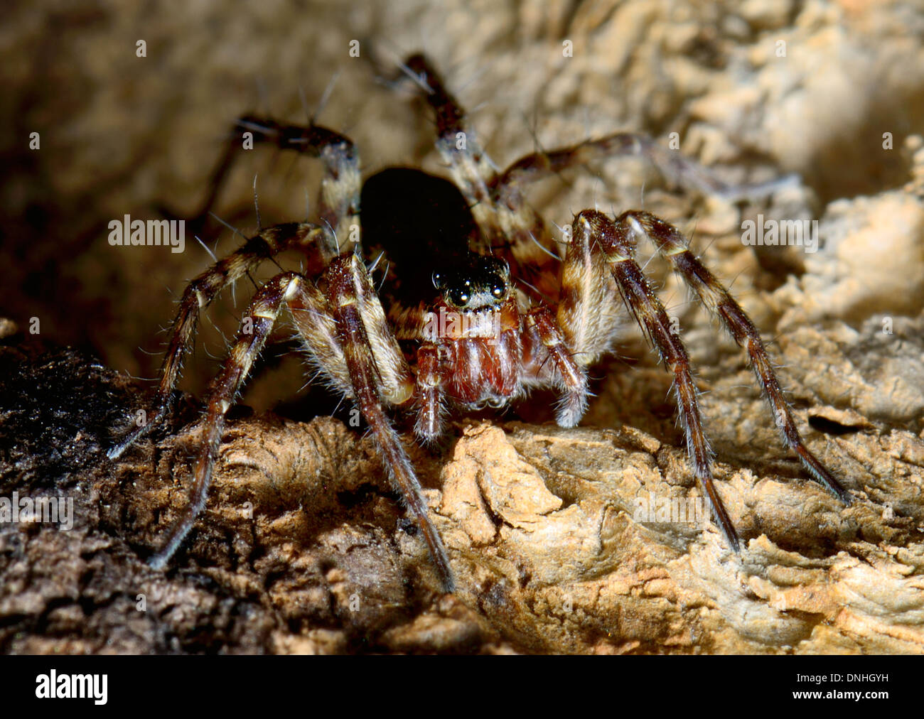 Close up of a Wolf spider, Pardosa amentata, on tree bark - Stock Image
