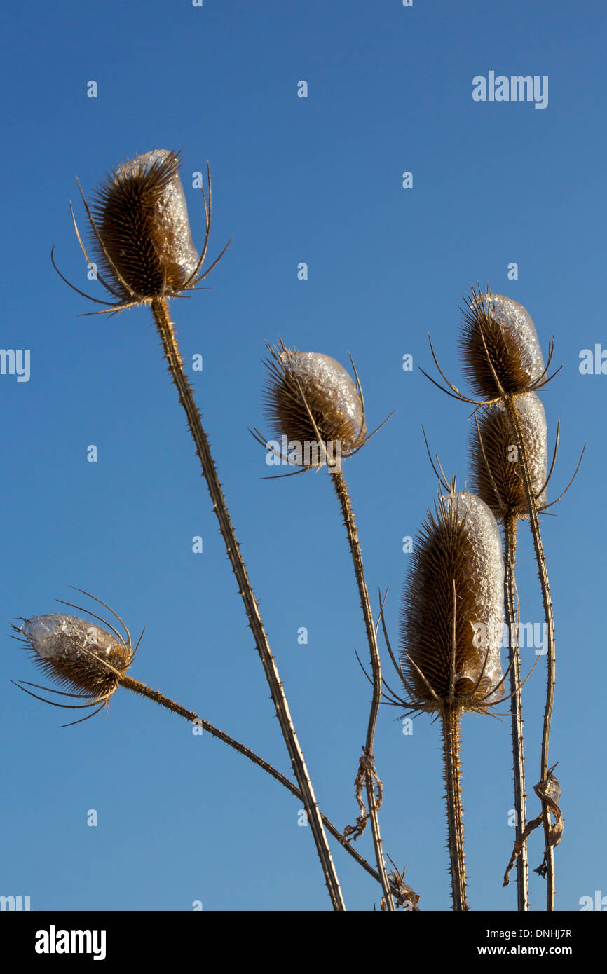 Shanksville, Pennsylvania - Teasel (Dipsacus), coated with ice after a winter storm. - Stock Image