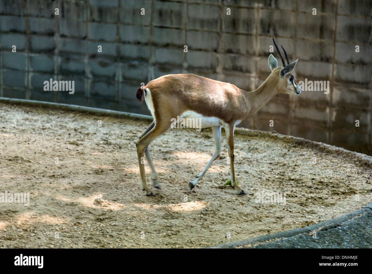 Gazelle in a zoo, Barcelona Zoo, Barcelona, Catalonia, Spain Stock Photo