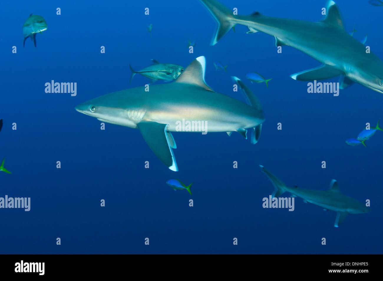 Silvertip sharks - Stock Image