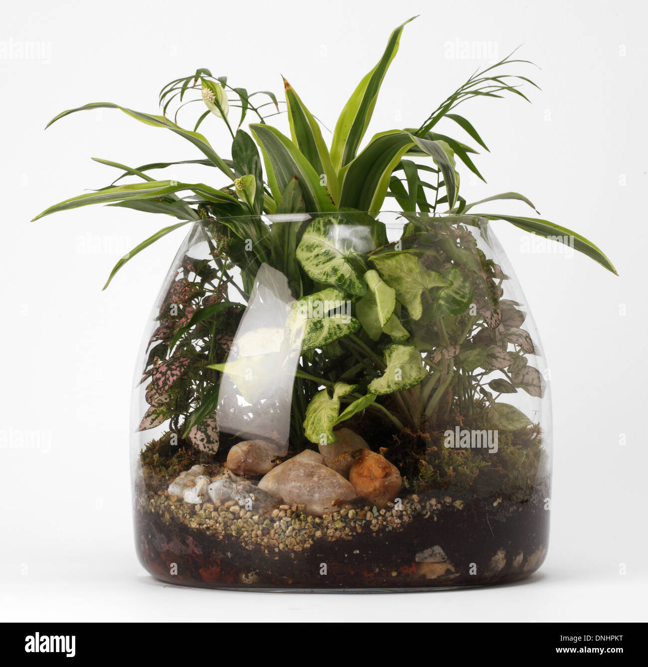A small glass terrarium with mixed plants on a white background - Stock Image