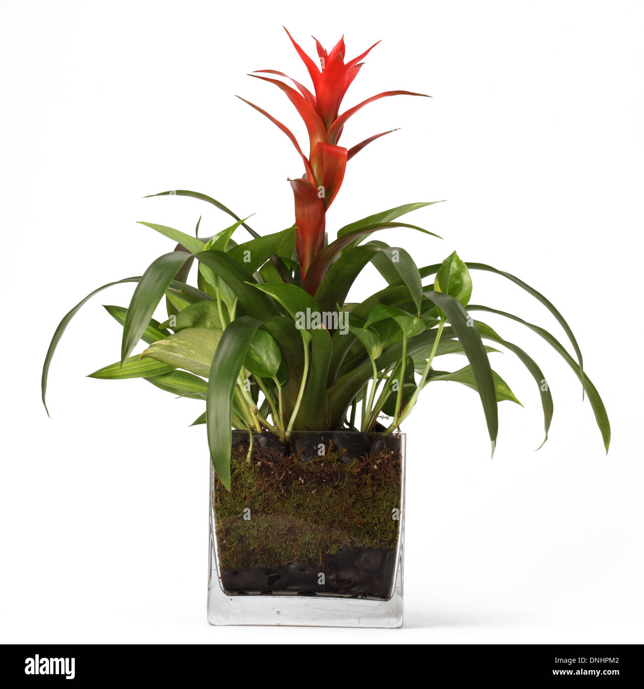 A green plant with red flower in a container on a white background - Stock Image