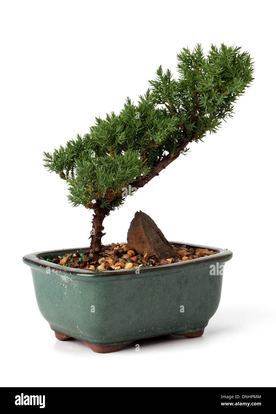 A small bonsai plant in a container on a white background - Stock Image